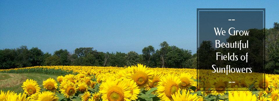 sunflowerslider1